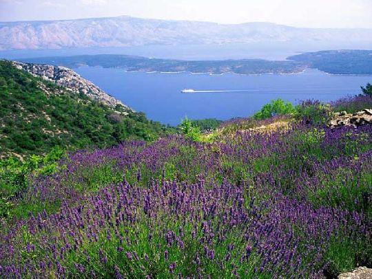 Остров Хвар весь пропитан запахом лаванды, ведь здесь её выращивают целыми полями